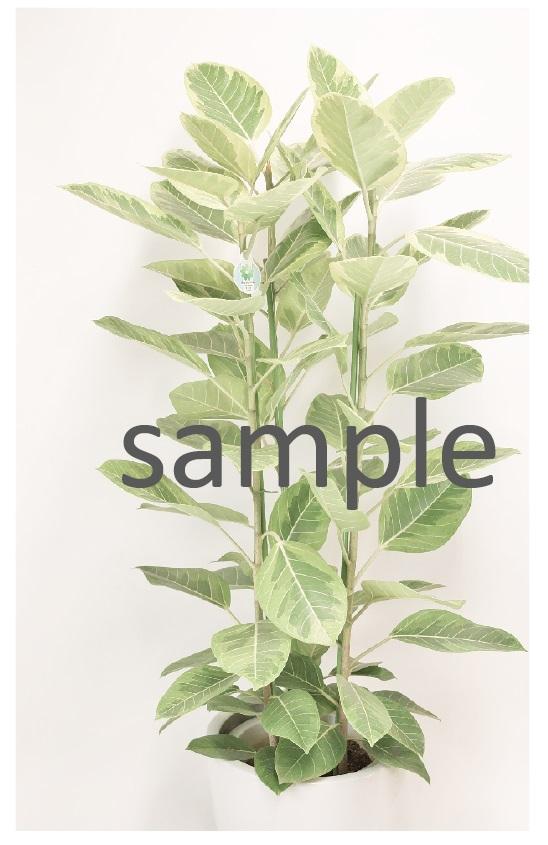 おまかせ観葉植物 Lサイズ G-013