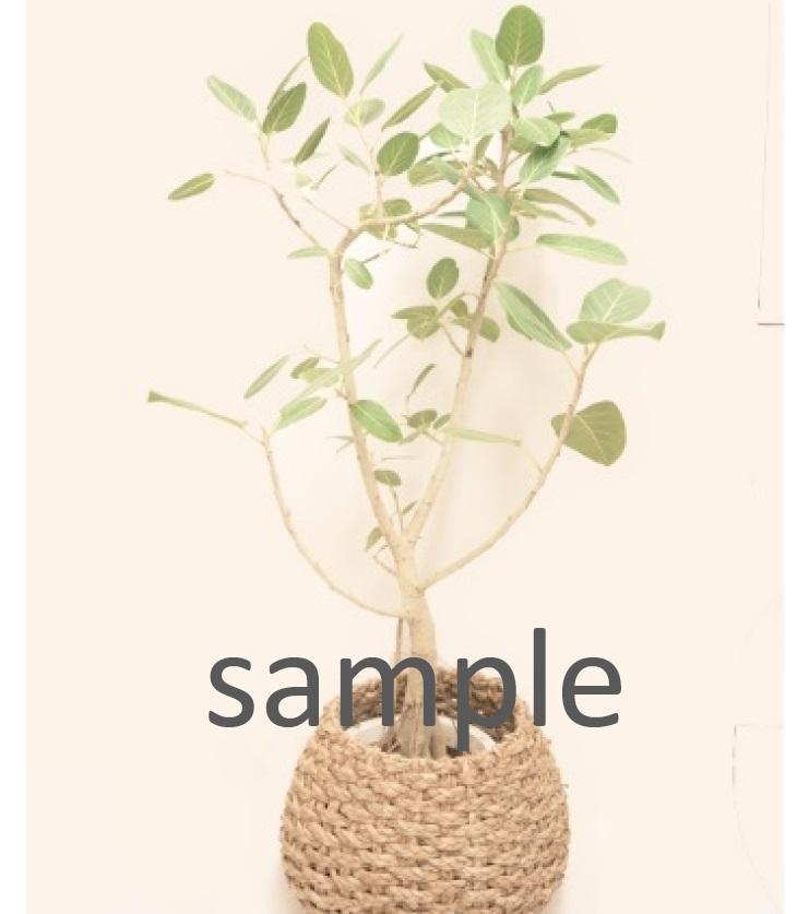 おまかせ観葉植物 Lサイズ G-014
